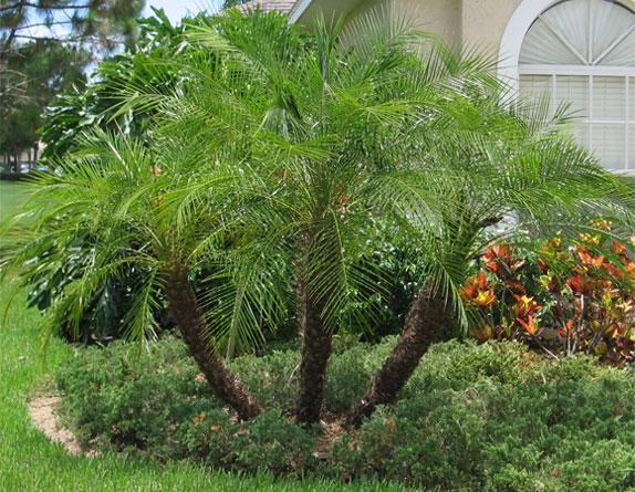 Pin Pygmy Date Palm on Pinterest